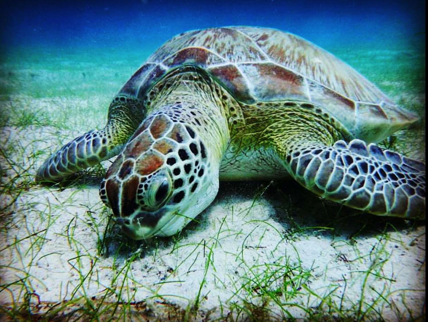 Sea Turtle Saint John, USVI
